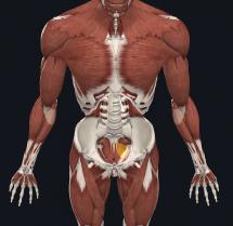 diaphragma pelvis